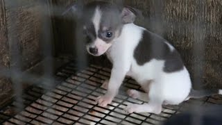 Rescued Puppy Mill Dogs Get a Second Chance